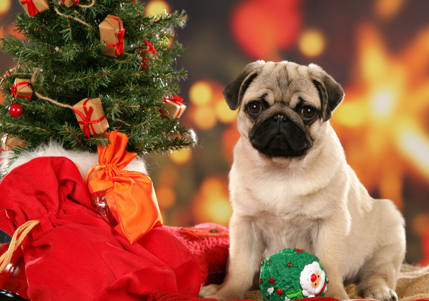cute-pug-with-christmas-gifts